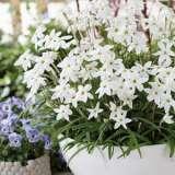 Tritelia Spring Star White
