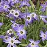Spring_Star_Dark_Blue_13_a