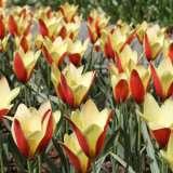 Tulip-Clusiana-Tinka-DVB-JVB-koekenhoff17