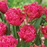 Tulip Fringed Kingston