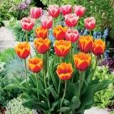 Tulip Margined Blend
