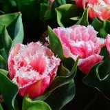 Tulip-Queensland17