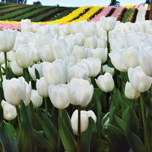 Tulip Royal Virgin F17 - Garden Express Australia