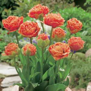 Tulip Sensual Touch