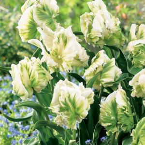 Tulip Super Parrot Garden Express