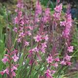Watsonia Lilac Towers