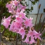 Belladonna Lily Pink