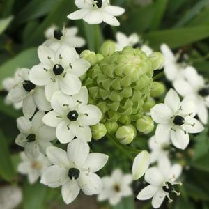 Black Pearl Lily