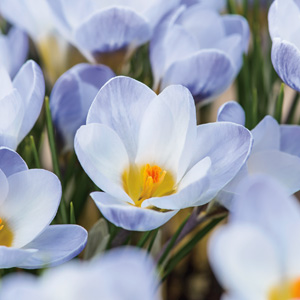 Crocus Blue Pearl Pkcrobpe - Garden Express Australia