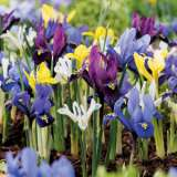 IRIS RETICULATA MIXED