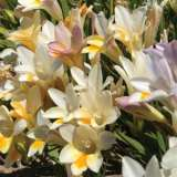 Freesia Refracta Mixed