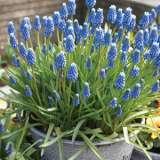 Grape Hyacinth Blue