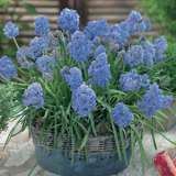 GRAPE HYACINTH FANTASY CREATION