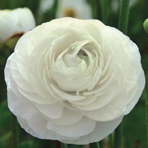 RANUNCULI WHITE