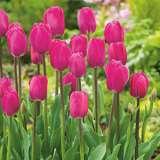 Tulip Barcelona