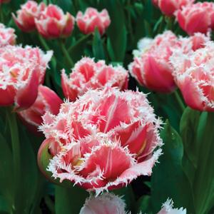 Tulip Queensland