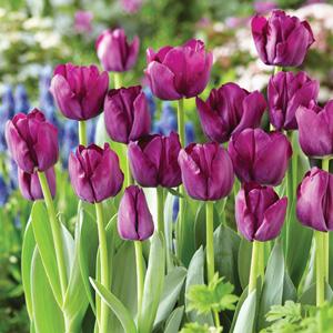 Tulip Saigon