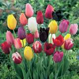 TULIP SINGLE LATE MIXED