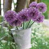Allium Jesdianum