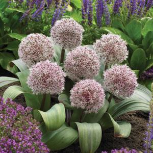Allium-karatviense-vis-17-pkallkari
