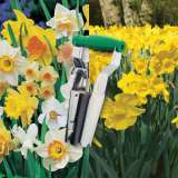 DAFFODIL CRAZY COMBO PACK - 100 BULBS and PLANTER