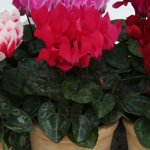 Cyclamen Picola Deep Rose 17