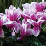 Cyclamen--Snowridge.Purple-17