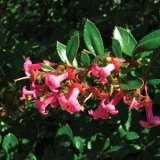 Escallonia-macrantha-Fores.17