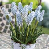 Grape Hyacinth Babys Breath