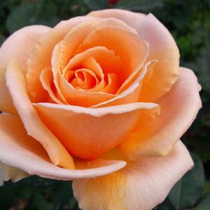 Rose Brandy