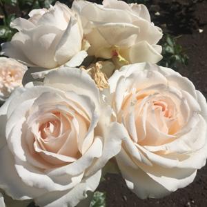 Brindabella Bouquet Rosbbou