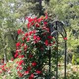 Climbing Rose Altissimo Roscalt