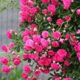 Climbing Rose China Doll