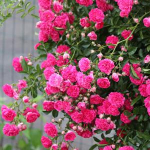 Climbing Rose China Doll Garden Express