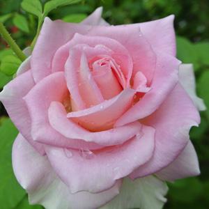 Hybrid Tea Rose First Love Garden Express