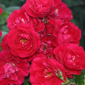Rose Gardeners Pleasure
