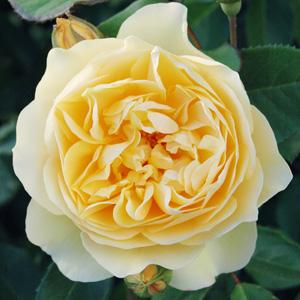 Rose graham thomas garden express graham thomas rosdgto thecheapjerseys Images