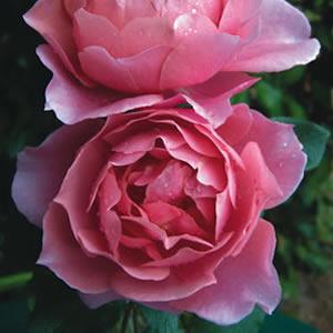Rose Charmwell Grandmas Rose (pbr)