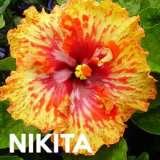 Hibiscus-Nikita-2017