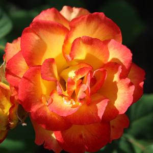 Red Gold Rosfrgo
