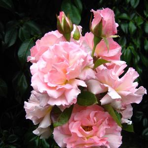 Thornless Rose Smooth Sweet Jessica Garden Express