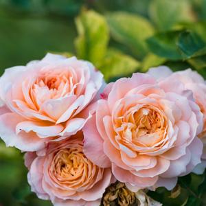 Shirleys Rose Roshsro - Garden Express Australia