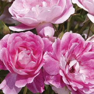 Rose Brilliant Pink Iceberg (pbr)