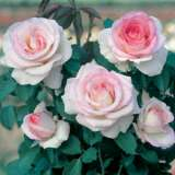 Rose Moonstone