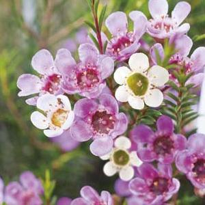 Wildflower Seed – Geraldton Wax