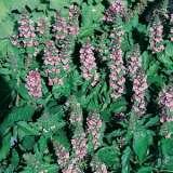 Ajuga-Pink-lpoajupel