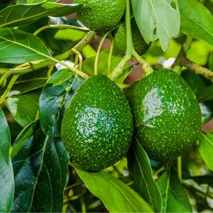 Avocado Wurtz