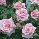 Baby Boomer Miniature Rose