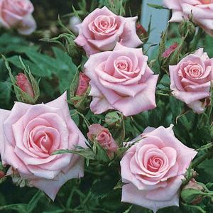 Miniature Rose – Baby Boomer