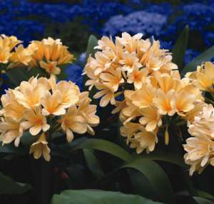 Clivia Yellow 11 - Garden Express Australia